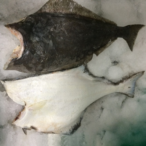 Halibut, Atlantic
