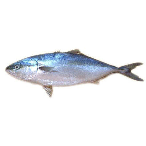 Hamachi (Pacific Yellowtail)
