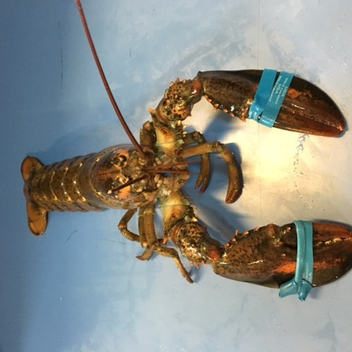 Lobster: Maine