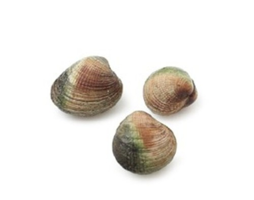 New Zealand Cockles