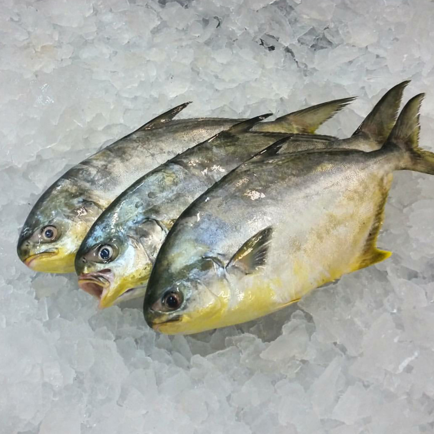 Pompano inland seafood for Picture of pompano fish