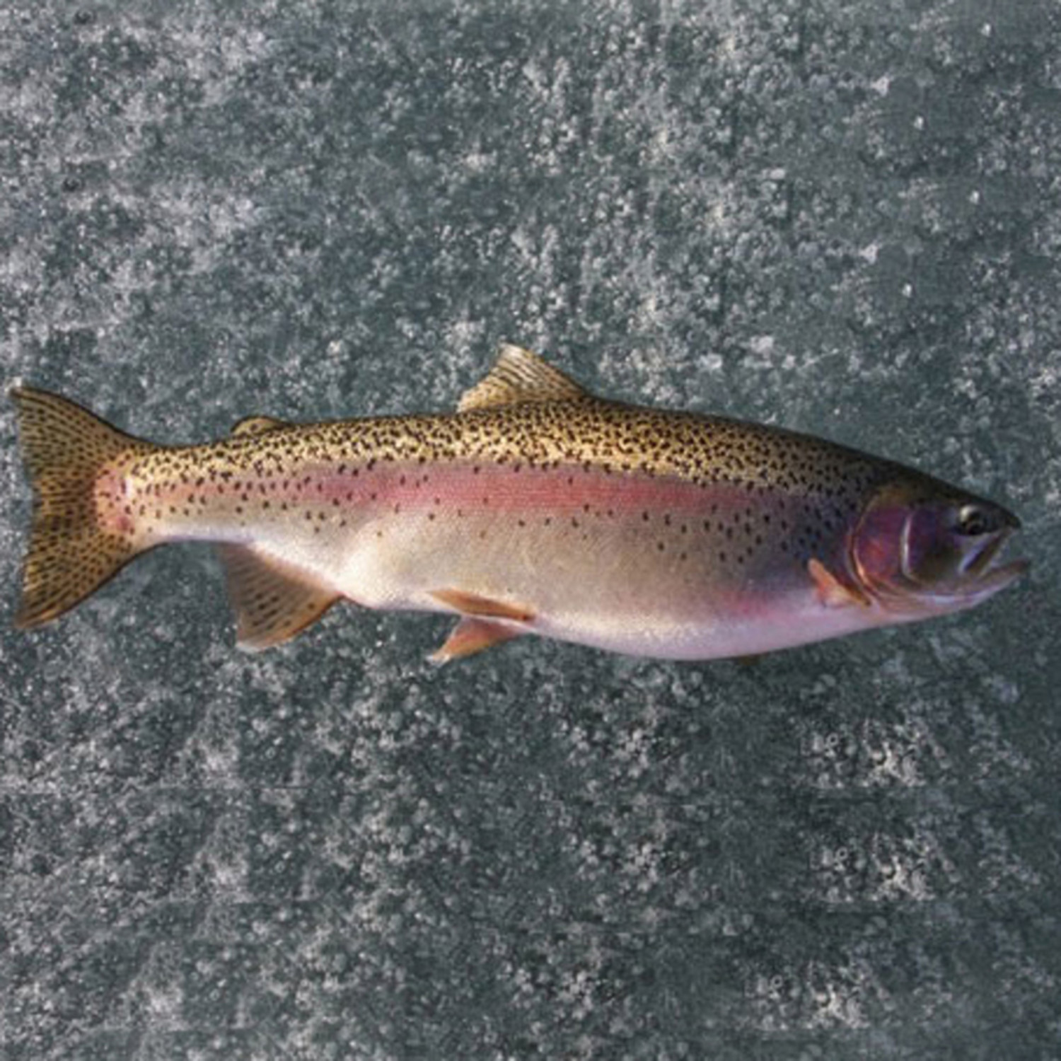 rainbow trout farmed inland seafood