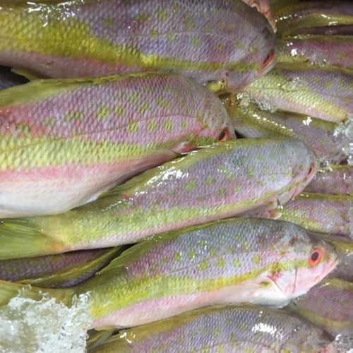Snapper: Yellowtail