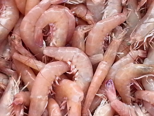 Shrimp: Key West Pink