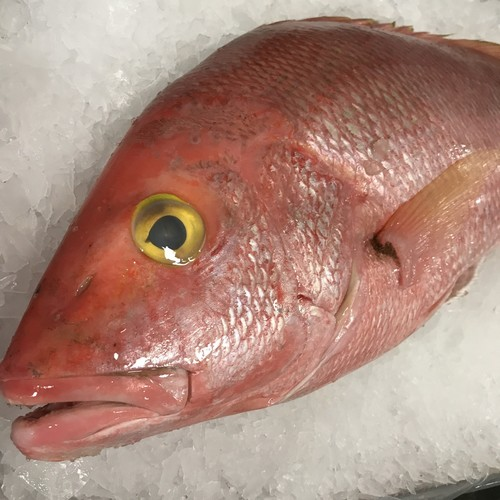 Snapper: Yelloweye