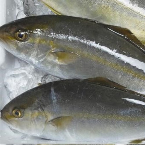 Hiramasa (Yellowtail Kingfish)