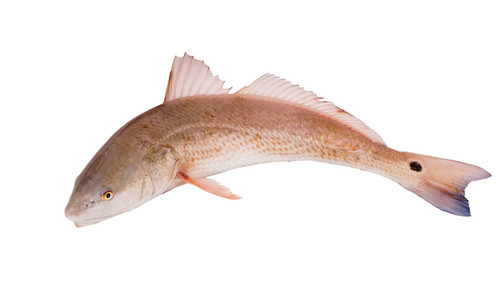 Farmed Redfish/Red Drum