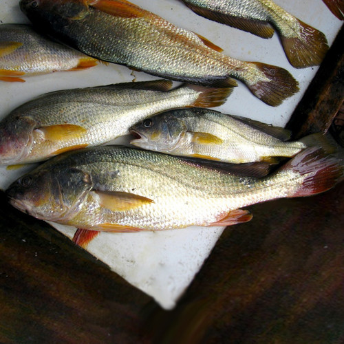 Agria (Golden Corvina)