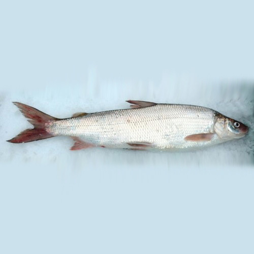 Great Lakes Whitefish